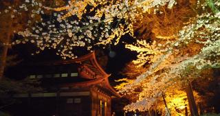 三井寺夜桜.jpg